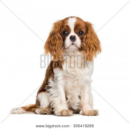 poster of Puppy Cavalier King Charles Spaniel, dog