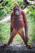 An Orangutan Standing Tall In His Enclosure poster