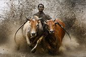 SUMATERA - FEBRUARY 11: A jockey astride a harness strapped to the bulls takes part in a bull race c