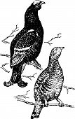 Bird lyrurus