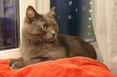 A Gray Shorthair Cat With Yellow-green Sits On A Red Pillow By The Window. poster