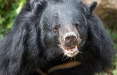Face Of Asiatic Black Bear In The Forest With Green Background. Asiatic Black Bear Relax In The Zoo poster