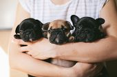 Three Beautiful French Bulldog Puppies Sitting On The Hands Of A Girl. Puppies Are Looking Towards T poster