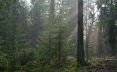 Misty Autumn Morning In Coniferous Stand
