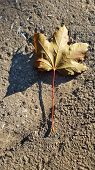 Yellow Dry Maple Leaf On Textured Road Surface With Clear Shadow. Single Fall Leaf Closeup. Natural  poster
