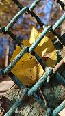 Bright Yellow Fall Leaf Closeup Through Wire Mesh Fence. Natural Fall Leaves Stuck In Rusty Wire Mes poster
