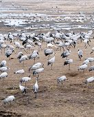 Cranes And Whooper Swans