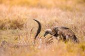 A Lone White-backed Vulture Scavenging On Carcass In The Grass At The Kruger National Park, A Game R poster