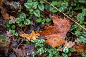 Maple Leaf And Oak Leaf Top View. Wet Brown Leaves Among Green Plants With Variegated Leaves. Textur poster