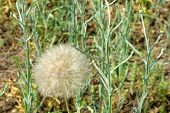White Fluffy Dandelion On A Summer Meadow poster
