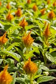 Urban Flowerbed Group Celosia Orange Yellow, Decorative Garden Plants, Landscaping Cities. Flower Br poster