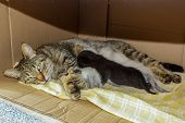 Beautiful Domestic Cat With Newborn Newborn Kittens Kittens Sleeping In The Carton House Box. poster