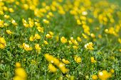 Small Yellow Flowers On A Green Meadow. Blurred Floral Background. Green And Yellow Texture. Green G poster
