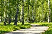 Beautiful Birch Trees With White Birch Bark In Birch Grove Among Other Birch Trees. Summer Landscape poster