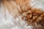 Close-up Of Cat Fur Brown And White Fur For Texture And Background. poster