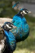 Two peacocks heads (peafowl genus pavo linnaeus). Focus in the peacock of the front