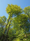 A Looking Upwards View Of Tall Sunlit Forest Trees With Bright Green Spring Foliage Against A Blue S poster