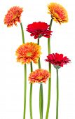 Vertical   gerbera flowers with long stem isolated on white background. Spring bouquet. poster