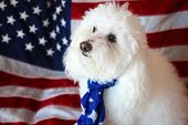 Maltese - Poodle aka Maltepo  dog sits with an American Flag background and scarf. Forth or July wit poster