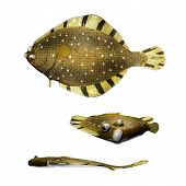 picture of flounder  - Barfin Flounder illustration from 3 different angles - JPG