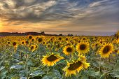Fields Of Gold - Sunflowers