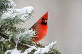 image of cardinal  - Male northern cardinal sitting in an evergreen tree following a winter snowstorm - JPG