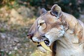 stock photo of saber  - Smilodon  - JPG