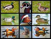 Photos mosaic of ducks