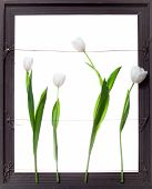 White Tulip Flowers in Grey Frame