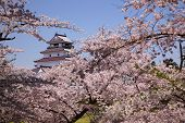 picture of fukushima  - Aizuwakamatsu Castle and cherry blossom in Fukushima Japan - JPG