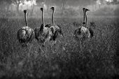 picture of ostrich plumage  - Monochrome close up view from back of group of female ostriches walking in long dry grass with woodland in background Maasai Mara Kenya - JPG