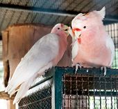 Pair Of Major Mitchell's Cockatoo