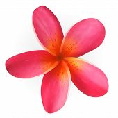 Pink Plumeria flower isolated on white