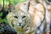 pic of bobcat  - Close - JPG