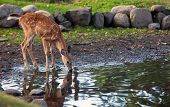Whitetail deer with reflection