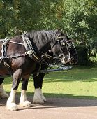 pic of shire horse  - Two Magnificent Shire Horses in a Paired Harness - JPG