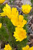 pic of adonis  - Yellow Adonis in spring forest on background of leaves Russia - JPG