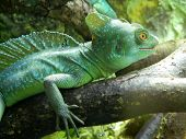Green Lizard Chameleon At Riga Zoological Garden