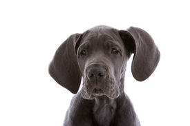 pic of great dane  - Young danish dog looking curious on white background - JPG