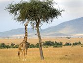 An African Giraffe(Giraffa camelopardalis) on the Masai Mara National Reserve safari in southwestern