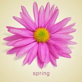 picture of a pink chrysanthemums and the word spring written in a beige background, with a retro effect