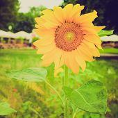 Retro Look Sunflower Flower