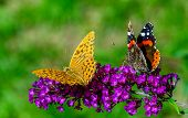 Two Butterflies On Purple Flower