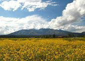 image of wildflower  - San Francisco peaks in summer near Flagstaff - JPG