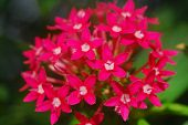 Pentas Pink White Flower