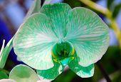 Phalaenopsis Green White Orchid Flower