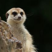 stock photo of meerkats  - Close up meerkat in the zoo and nature - JPG
