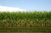 stock photo of maize  - Cornfield and corn stalks shortly before maturity and harvest in an Illinois field - JPG