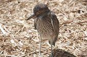 Baby cormorant