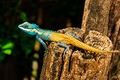 stock photo of chameleon  - The blue yellow chameleon is stay on stump - JPG